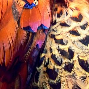 Phesant Feathers